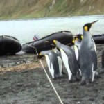 (Video) Perilaku Penguin yang Lucu Karena tidak Bisa Lewati Tali