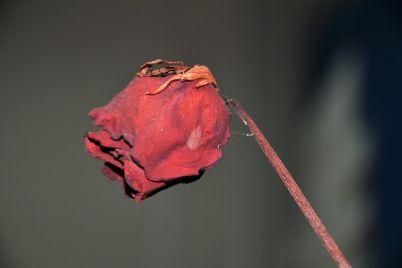 mawar-layu.jpg